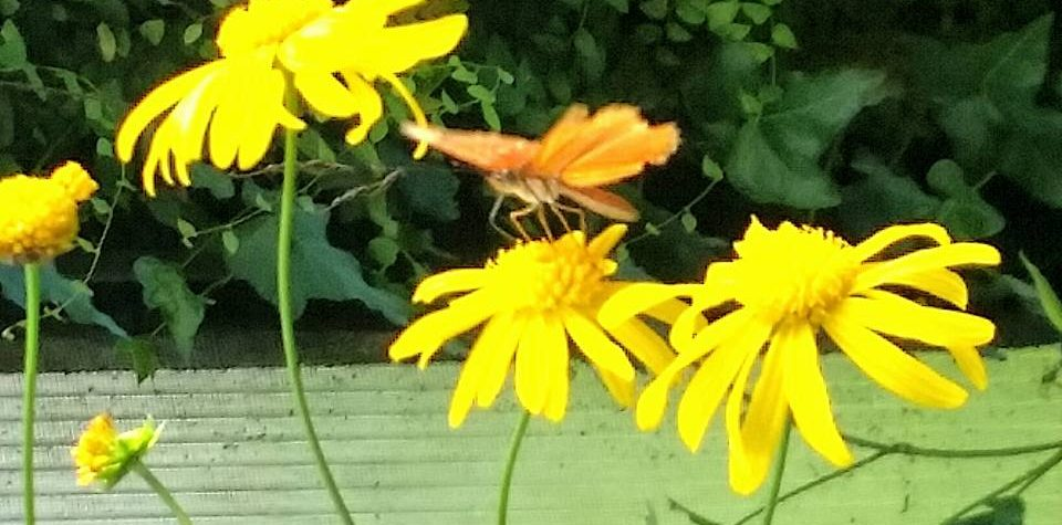 butterfly on a daisy